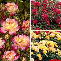'Fruit Salad' Groundcover Rose Collection
