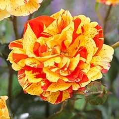 Rose 'Oranges and Lemons', Papagena