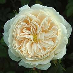 Premium Rose 'Macmillan Nurse'