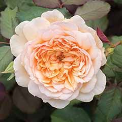 Old English Shrub Rose Apricot