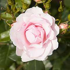 Old English Shrub Rose White