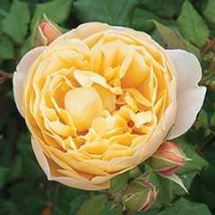 Old English Shrub Rose Yellow