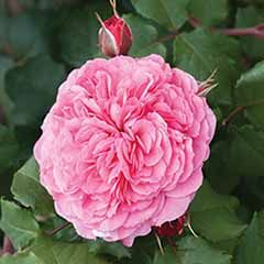 Old English Shrub Rose Pink
