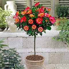 Rose Babylon Eyes Coral 60cm stem potted 4L