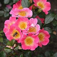 Pair of Topolina Half Standard Roses