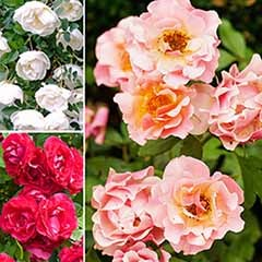 Groundcover Rose Bundle