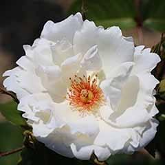 Rose 'Starlight Symphony'