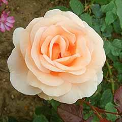 Premium Rose 'The Churchill Rose' in 3L Pot