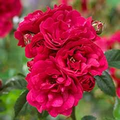 Polyantha Rose 'The Fairy Red'