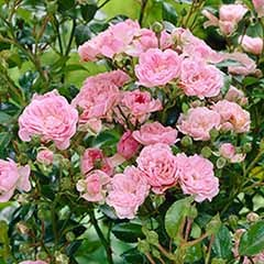 Polyantha Rose 'The Fairy Pink'