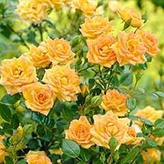 Polyantha Rose 'The Fairy Yellow'