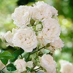 Polyantha Rose 'The Fairy White'
