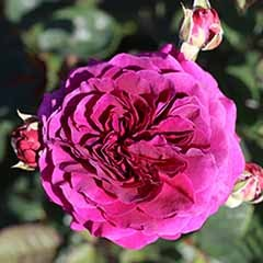 Rose 'Timeless Purple'