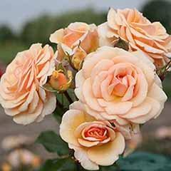Rose 'Sweet Honey' Rose of the Year 2020