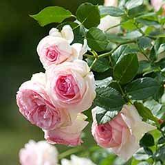 Rose 'Eden Rose'