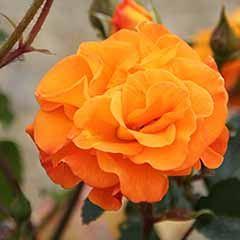 Rose 'Precious Amber'