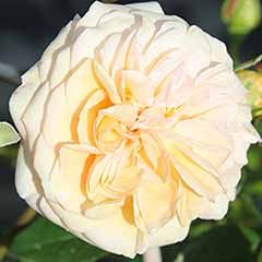 Rose 'Timeless Cream'