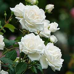 'Dalesman' rose