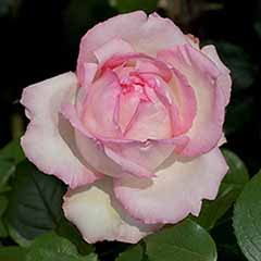 Hybrid Tea Rose 'Honore de Balzac'