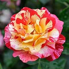 Rose 'Camille Pissaro'