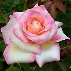 Bi-colour Rose 'La Minuette'