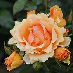 Rose 'Queen Bee'