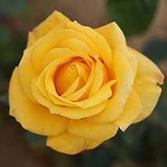 'Grandma's Rose'