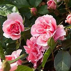 Rose 'You're Beautiful'