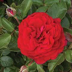 Rose Docteur Watson