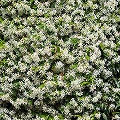 Star Jasmine Trachelospermum jasminoides  1-1.2M tall