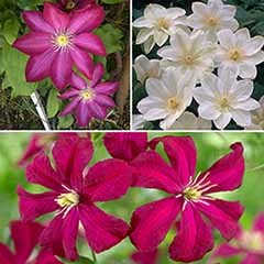 Repeat Flowering Clematis Collection
