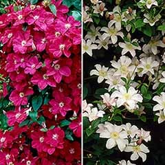 Pair of Patio Clematis Red and White, BOULEVARD(R) Series