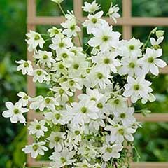 Evergreen Clematis 'Early Sensation'