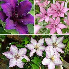 Patio Clematis Collection, Acropolis(TM) Boulevard(R) Evipo078(N) Series - 3 Mixed Colours