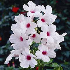 'Bower Vine' Pandorea jasminoides
