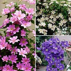 'Boulevard' Patio Clematis - 3 Plants in Flower in 9cm Pots
