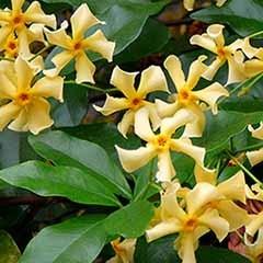 Trachelospermum 'Star of Toscana'