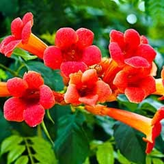 Patio Campsis 'Jazz Fire' Trumpet Vine in a 3L Pot 90cm Tall