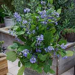 Clematis heracleifolia 'New Love'