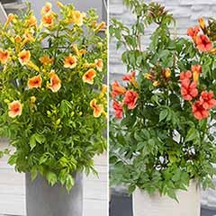 Pair of Yellow & Red Patio Campsis
