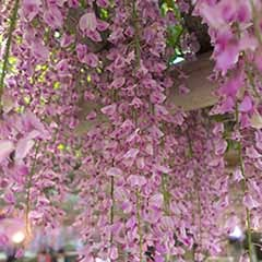 Pink Japanese Wisteria 'Rosea'