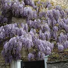 Wisteria frutescens 'Longwood Purple'