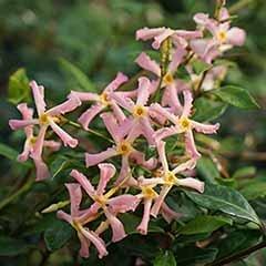 Trachelospermum asiaticum Star Jasmine 'Pink'