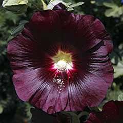 Perennial Hollyhock Alcea Nigra 'Black'