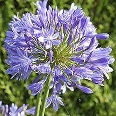 Perennial Agapanthus 'Blue'