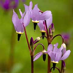 Dodecatheon meadia 'Shooting Stars'