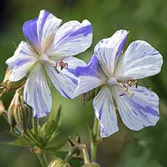 Perennial Hardy Geranium 'Splish Splash'
