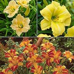 Hemerocallis Daylily Collection