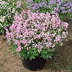 Hardy Perennial Sweet Pea Plants - Pack of 4 (2 blue, 2 pink)
