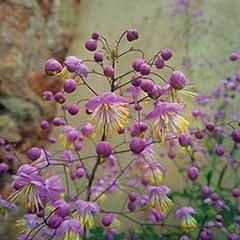 Thalictrum rochebruneanum 'Meadow Rue'